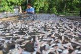 BUMDes Hadakewa kelola usaha ikan teri