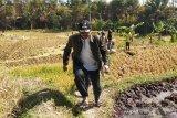 Petani di Garut dianjurkan gunakan pestisida nabati  cegah hama ulat