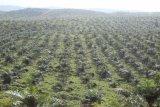 Kotabaru salurkan Rp3,6 miliar untuk peremajaan kelapa sawit