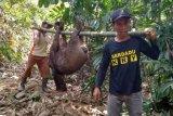 Kawanan babi hutan merusak lahan pertanian di Purbalingga