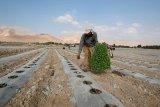 Petani Palestina diusir dari kebun zaitun  di selatan Nablus