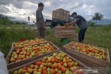 Sekdaprov: petani keluhkan harga tomat  semakin terpuruk