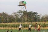 Malaysia mengandalkan burung hantu basmi tikus di kebun sawit