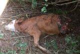 Harimau mangsa seekor sapi milik warga di Agam, badannya tinggal sebelah