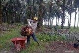 Harga sawit Riau kembali turun