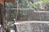 Pohon ditebangi, kawanan monyet ekor panjang rusak ketela milik petani