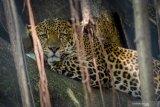 Kebun Binatang Bandung berencana potong rusa jadi pakan hewan