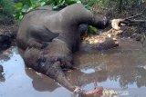 Gajah liar berkaki buntung ditemukan mati mengenaskan