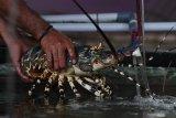 Edhy Prabowo masih mengkaji rencana membuka ekspor benih lobster