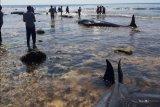 Warga beramai-ramai potong paus terdampar untuk dikonsumsi