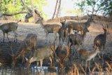 Rusa Timor (cervus timorensis) minum dikubangan yang disediakan Taman Nasional Baluran, di Situbondo, Jawa Timur, Rabu (9/10/2019). Saat musim kemarau, satwa yang ada di Taman Nasional Baluran memanfaatkan kubangan air buatan dan semi alami untuk memenuhi kebutuhan air. Antara Jatim/Budi Candra Setya/zk