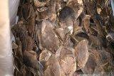 Vietnam menyita dua ton gading dan sisik trenggiling