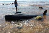 Satu ekor paus terdampar dipotong warga untuk dikonsumsi