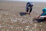 Ribuan ikan mati di Pantai Jetis diduga karena sengaja dibuang nelayan