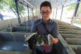 LIPI siap bantu pengembangan teripang di Lombok Timur