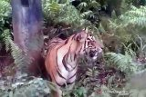 Harimau sumatera berkeliaran dekat fasilitas minyak di Siak
