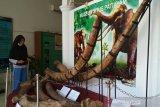 Tingkatkan kunjungan, ruang pamer Museum Patiayam bakal ditata ulang