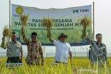 Menteri Pertanian Syahrul Yasin Limpo (kanan) bersama Kepala Staf Kepresidenan Jenderal (Purn) Moeldoko (kedua kanan) didampingi Wakil Bupati Karawang Ahmad Zamakhsyari (kedua kiri) menujukan padi M70D saat melakukan kunjungan kerja giat panen padi varietas super genjah M70D di Desa Curug, Klari, Karawang, Jawa Barat, Kamis (07/11/2019). Dalam kunjungannya Menteri Pertanian Syahrul Yasin Limpo mengatakan pertanian harus menjadi gerakan kemasyarakatan bersama semua yang bertanggungjawab atas kepentingan negara untuk mejaga ketahan pangan dan akan memperbaiki kekuatan pangan wilayah pantai utara (Pantura) serta mendorong segala inovasi dalam bidang pertanian. ANTARA JABAR/M Ibnu Chazar/agr