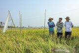 Menteri Pertanian Syahrul Yasin Limpo (tengah) bersama Kepala Staf Kepresidenan Jenderal (Purn) Moeldoko (kanan) berbincang bersama petani saat melakukan kunjungan kerja giat panen padi varietas super genjah M70D di Desa Curug, Klari, Karawang, Jawa Barat, Kamis (07/11/2019). Dalam kunjungannya Menteri Pertanian Syahrul Yasin Limpo mengatakan pertanian harus menjadi gerakan kemasyarakatan bersama semua yang bertanggungjawab atas kepentingan negara untuk mejaga ketahan pangan dan akan memperbaiki kekuatan pangan wilayah pantai utara (Pantura) serta mendorong segala inovasi dalam bidang pertanian. ANTARA JABAR/M Ibnu Chazar/agr