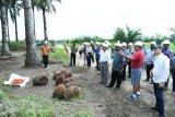 Pengelolaan kelapa sawit lestari   jadi inspirasi bina damai
