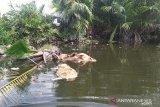 Kematian massal babi di Sumut, sudah 5.800 ekor