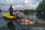 Ratusan bangkai babi di Danau Siombak dievakuasi bertahap