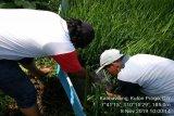 Dinas Pertanian Kulon Progo uji coba demplot padi Inpari Zinc
