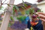 Tanaman langka khas Betawi tumbuh di RPTRA Jakarta Timur
