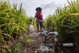 Sumur pantek, solusi pengairan sawah di Temanggung saat kemarau