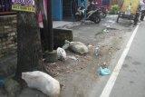 Astaga,  bangkai babi juga dibuang di jalanan Kota Medan