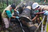 KLHK kesulitan ungkap kasus pembunuhan gajah Sumatera di Riau. Kok bisa?