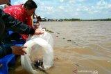 Mencegah perusakan ekosistem di perairan Seruyan, ribuan benih ikan dilepaskan