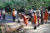 Basarnas bersihkan pohon tumbang di  Minut