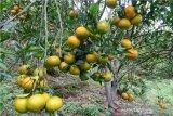 Kabupateb Rejang Lebong menuju pusat pengembangan jeruk gerga