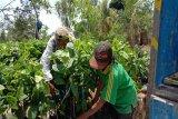 Pemkab Kulon Progo membantu bibit kopi 2.000 batang di Samigaluh