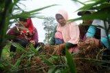 Warga penyangga Taman Nasional Bukit Tigapuluh (TNBT) yang tergabung dalam Kelompok Wanita Tani (KWT) Bukit Siguntang Lestari memanen jahe merah di Muara Sekalo, Sumay, Tebo, Jambi, Senin (25/11/2019). Usaha perkebunan jahe merah yang dilakukan puluhan perempuan di desa penyangga TNBT tersebut merupakan program pemberdayaan warga yang difasilitasi WWF Indonesia-Jambi sejak Desember 2018 dengan tujuan meningkatkan pendapatan warga setempat melalui pemanfaatan pekarangan dan lahan kosong sekitar rumah. ANTARA FOTO/Wahdi Septiawan/pd.