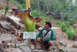 Bunga raksasa langka telah mekar di Air Terjun Tirai