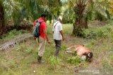 Harimau mangsa lima ekor sapi dan tiga kambing di Aceh Utara