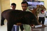 Pelajar mengamati opsetan beruang madu dan harimau sumatra sitaan Balai Konservasi Sumber Daya Alam saat mengikuti sosialiasi tumbuhan dan satwa dilindungi di SMA Negeri 1 Suka Makmur, Aceh Besar, Aceh, Rabu (4/12/2019). BKSDA Aceh menggelar sosialisasi konservasi satwa dan tumbuhan langka pada pelajar sebagai edukasi untuk menjaga alam serta habitat satwa dilindungi sesuai UU nomor 5/1990 tentang konservasi sumber daya alam dan ekosistim. Antara Aceh / Irwansyah Putra.