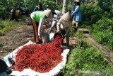 Kementan menargetkan peningkatan produksi bawang merah-cabai 7 persen