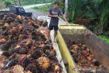 Pekerja memasukkan TandaN Buah Segar (TBS) sawit ke dalam truk di salah satu tempat penampungan di Desa Seumantok, Kecamatan Pante Ceureumen, Aceh Barat, Sabtu (7/12/2019). Pedagang pengumpul mengaku, sejak dua pekan terakhir harga TBS kelapa sawit mulai membaik dari Rp700 per kilogram menjadi Rp1.210 per kilogram. Antara Aceh/Syifa Yulinnas.