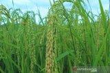 Pemprov Papua kirim bantuan 200 ton beras ke Papua Nugini