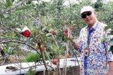 Kawasan Sindang Dataran  jadi sentra tanaman apel