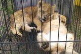 Polda Riau berhasil selamatkan empat bayi singa Afrika