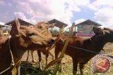 NTB menghentikan pengiriman sapi ke daerah lain