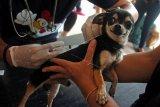 Penyuntikan vaksin antirabies hewan peliharaan