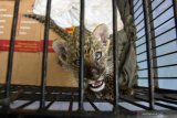 Bayi macan tutul selundupan mati di Kebun Binatang