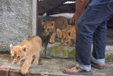 Polda tangkap dua tersangka jaringan penyelundup bayi singa