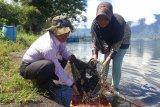 Tangkapan Rinuak dan Pensi di Danau Maninjau berkurang akibat populasi menipis