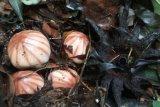 BkSDA Agam Temukan Rhizanthes Lowii di Kawasan Danau Maninjau